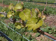 tiers_vineyard_buds_large.jpg (154044 bytes)
